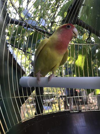 Продам папугу породы Неразлучник