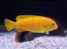 Piękny Pyszczak samica saulosi yellow  12kcm ! ew. zamiana na akwarium