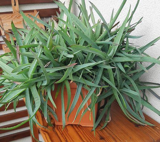 Aloes leczniczy wieloletni