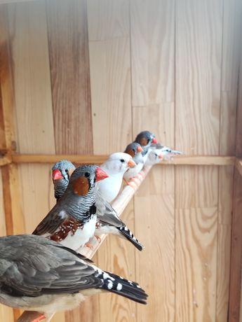 Pássaros Mandarins 2021