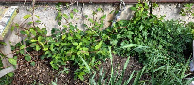 Жимолость. Садовое растение. Вечнозеленое растение.