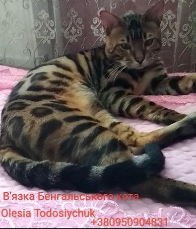 В'язка Бенгальського кота.