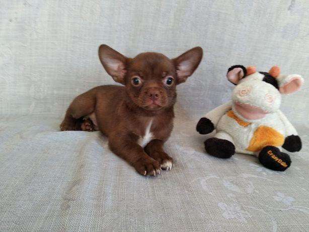 Шоколадний хлопчик чіхуахуа
