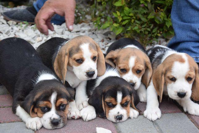 Beagle Przepiękne Szczenięta z Rodowodem