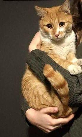 Znaleziono rudo-białego kotka/kotkę