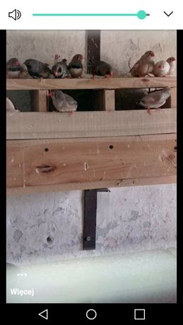 Ptaki żeberki sprzedam