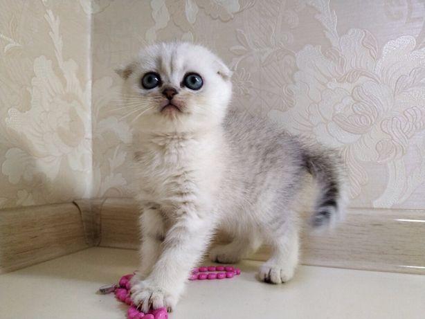 Вислоухое котята серебристые шиншиллы из питомника