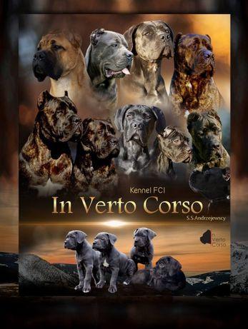 CANE CORSO Italiano FCI! Najlepsze linie!