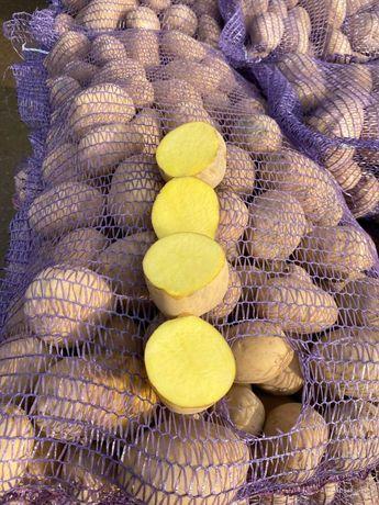 Картофель различных сортов в наличит 100т