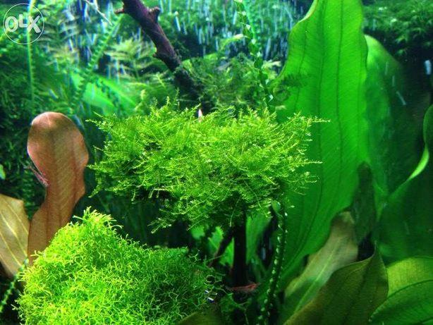 Мох акваріумний Christmas Moss