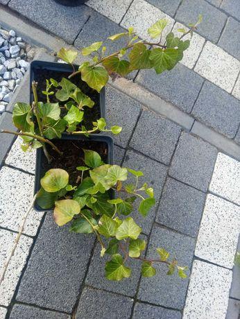 rośliny hibiscus winobluszcz trzmielina hortensja pnąca bluszcz