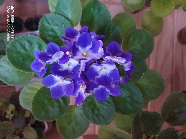 Фиалка Valeska Blau и РС-Кабаре цветущие