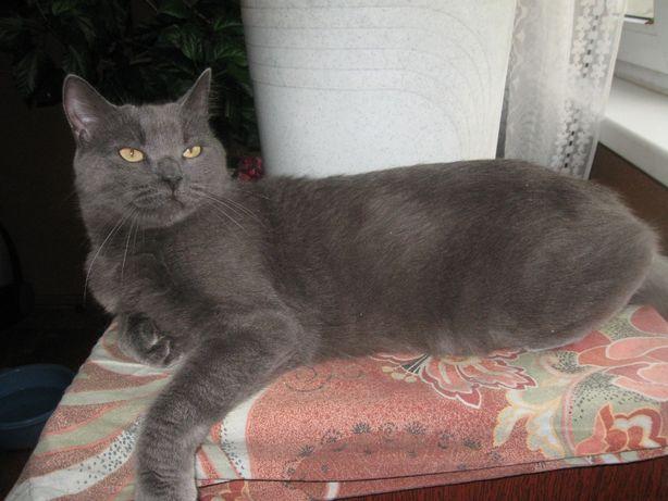 Метис Русской голубой - котик Ричард. 1 год. Кастрирован.