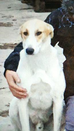 Zaginął Pies w okolicach Białej Rawskiej/Wilkowa (Zaginione)