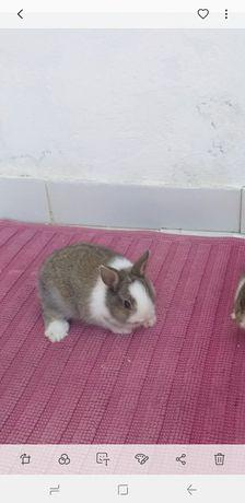 coelho anão em Albufeira. Vendo coelhinhos anões minitoy e holandês