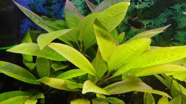 roślina akwariowa Hygrophila carymbosa XXL potężna wypasiona