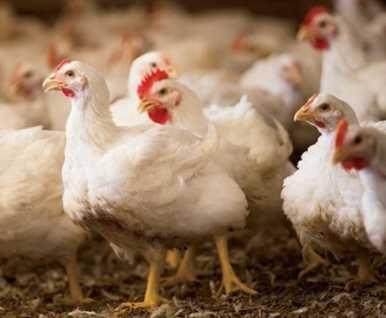 свіже якісне яйце для інкубації, кури РОСС-308
