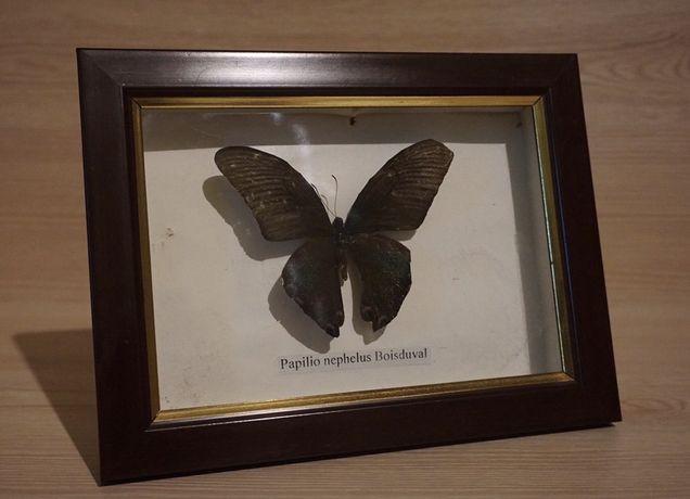Бабочка Papilio nephelus Boisduval