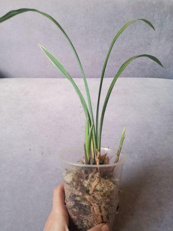 Орхидея цимбидиум вариегатный