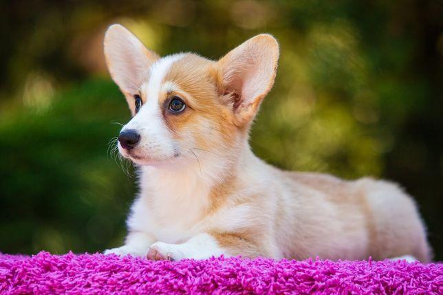 Милые лисички - вельш корги пемброк