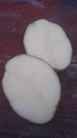 Ziemniaki jadalne odmiany Owacja.