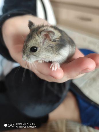 В хорошие руки хомячок джунгарик