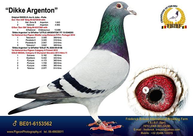 Gołąb, gołębie pocztowe 3 x medal - linia olimpijska