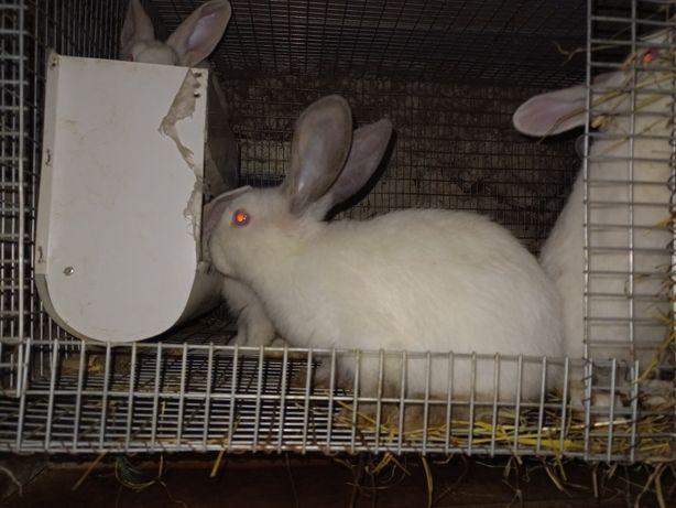 Продам кролі. Каліфорнійці і мішані