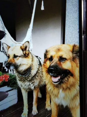 Oddam 2 psy tylko razem