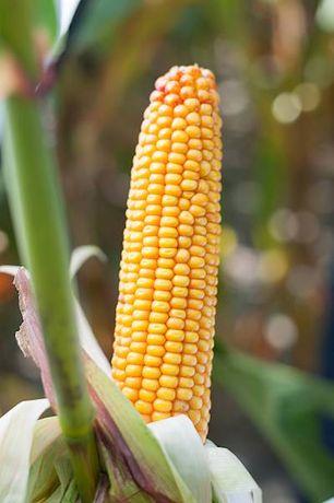 Nasiona kukurydzy: Ambos Vitamin Prophet Cetip Susann Subito kukurydza