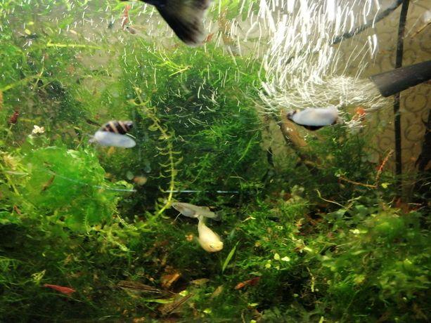 Ślimaki Helenki do akwarium