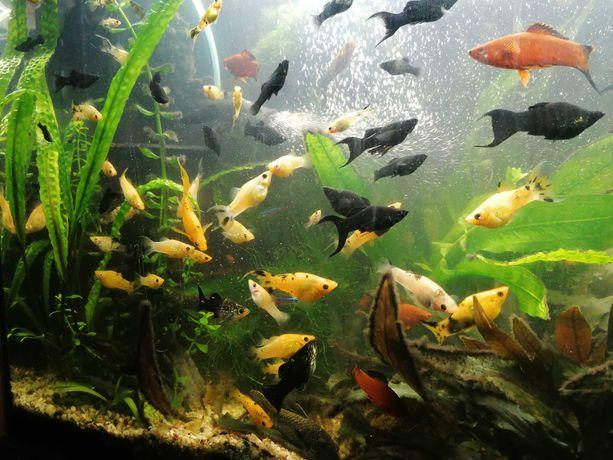 Ryby Molinezje Mieczyki Glonojady