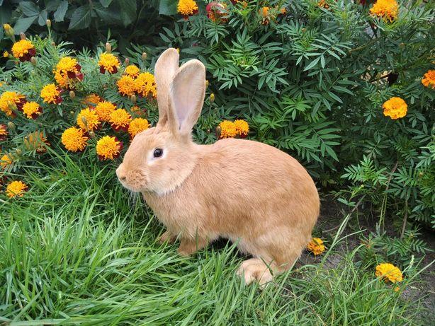 Кролі, кролики, Бургундія, Бургундця