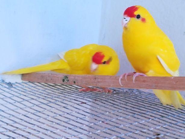 Casal kakarikis amarelos
