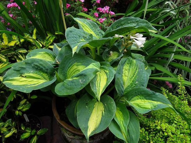 Funkia hosta Dream Queen'