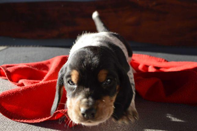 basset hound gotowe do odbioru