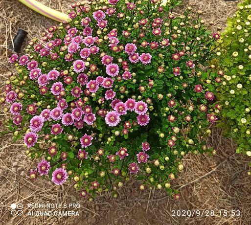 Хризантема мультифлора в горшочках p10