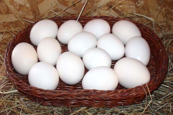 Яйця інкубаційні бентам біловухий