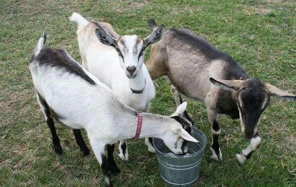 Продам молочных молодых породистых коз и козликов (коза,цап)