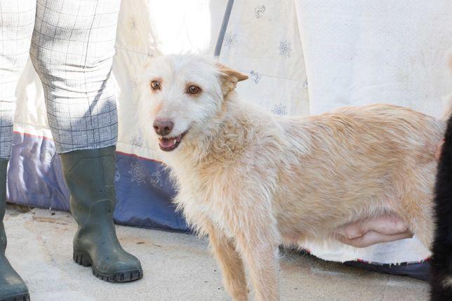 MARIA uma cadela PODENGA PORTUGUÊS para adoção!
