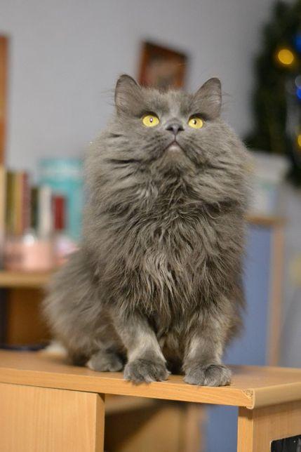 пухнастошубий великий кіт 1р