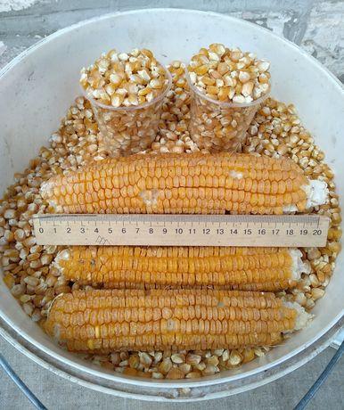 Семена. Сахарной кукурузы. Ранняя. Сладкая. Домашняя с огорода.