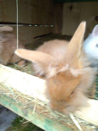 króliki lewki,,,