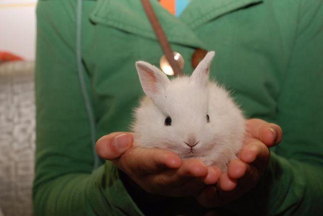 Крольчата короткоухие мини, мини мини кролики декоративные