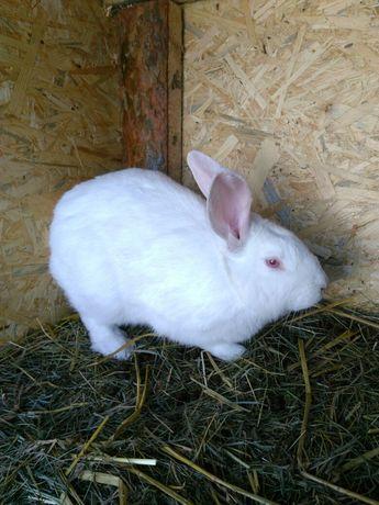Sprzedam króliki termondzkie białe