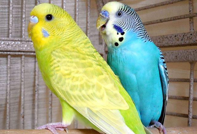 Продам волнистых попугайчиков