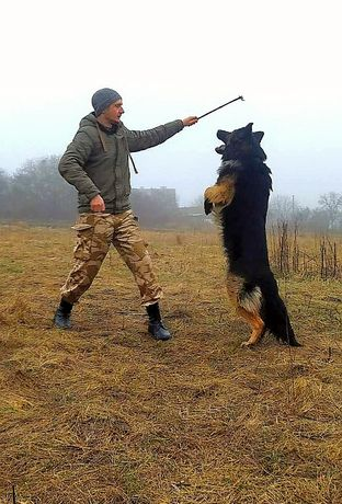 Немецкая овчарка ВЯЗКА