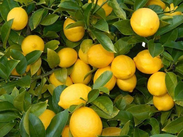 Vendo limões biológicos. Faça uma ótima limonada!