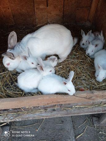 Sprzedam króliki Kalifornia