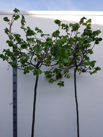 Tilia cordata 'Green Globe' lipa drobnolistna 'Green Globe'